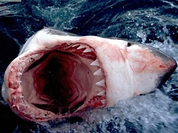 ホホジロザメ 大口
